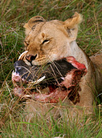 Lioness and Prey