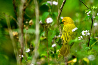 Yellow-crowned Canary
